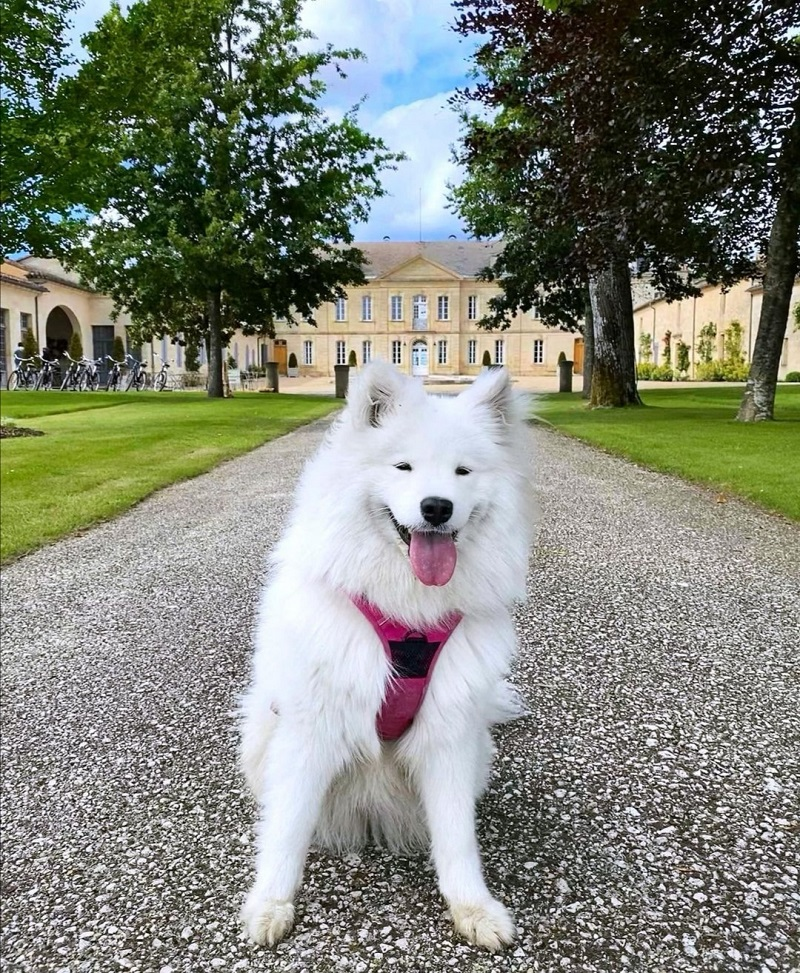 visite château soutard avec chien