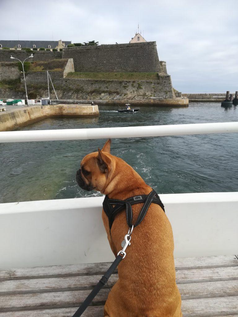chien qui prend le bateau pour belle ile en mer