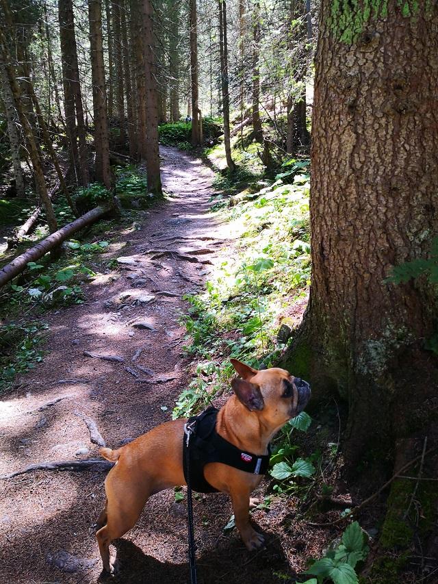 promenade en forêt avec son chien en savoie